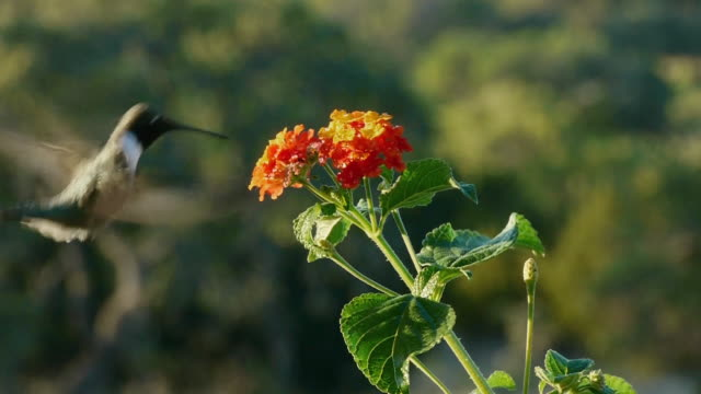 vídeos de stock, filmes e b-roll de close-up of male hummingbird feeding from lantana wildflower, texas hill country, stonewall, texas - hummingbird