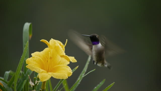 Close-up of Male Hummingbird feeding from water-laden Yellow Flowers, Texas Hill Country, Stonewall, Texas