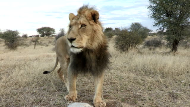 close-up of male lion looking around and walking towards camera - endangered species stock videos & royalty-free footage