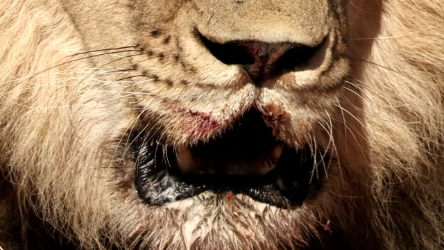Close-up of male lion with blood on lips