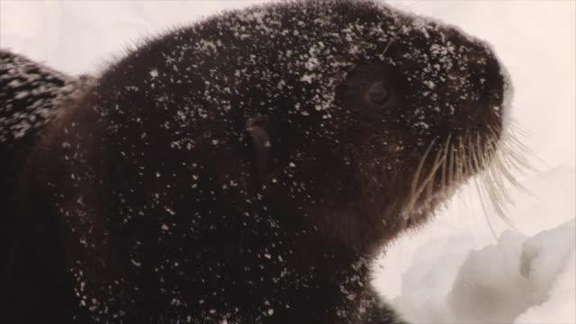 närbild av manliga havsutter i snö - morrhår bildbanksvideor och videomaterial från bakom kulisserna