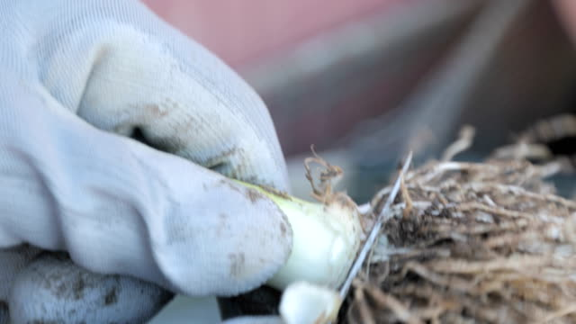 close-up of man cleaning freshly harvested leek - gardening glove stock videos & royalty-free footage