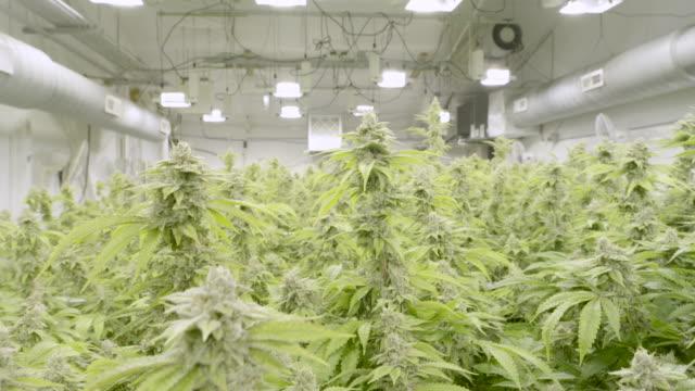 4K UHD: Close-Up of Marijuana Plant
