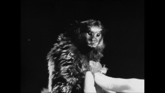 """closeup of marmoset - """"archive farms"""" stock videos & royalty-free footage"""