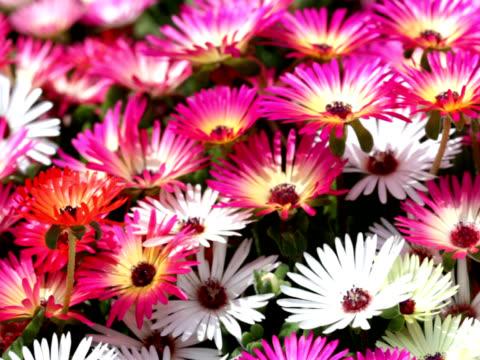 pal: nahaufnahme von mesembryanthemum blume (video - aptenia stock-videos und b-roll-filmmaterial