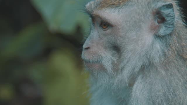 closeup of monkey's face - ubud stock videos & royalty-free footage