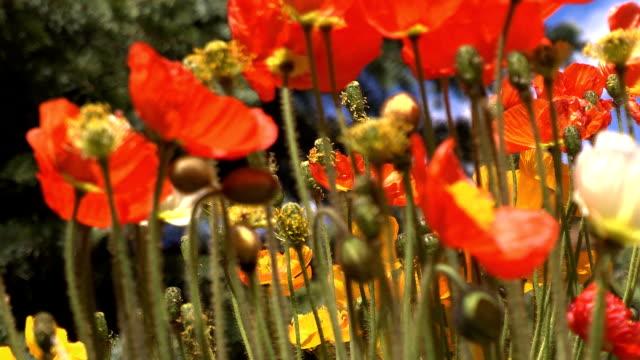 nahaufnahme von mountain poppies - rack focus stock-videos und b-roll-filmmaterial