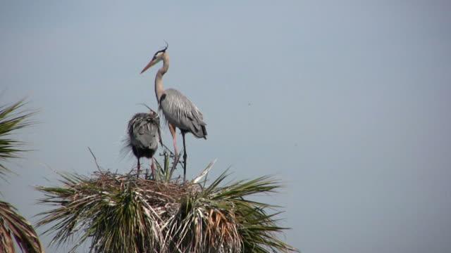 Closeup of Nestbuilding Herons