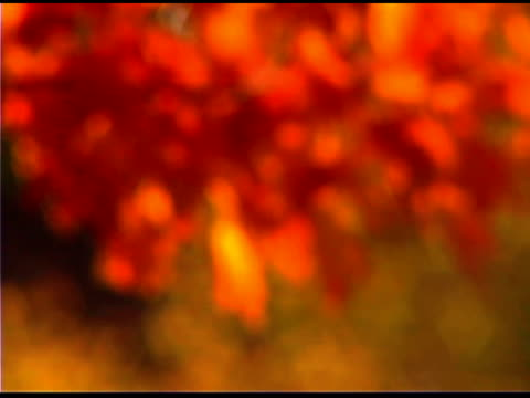 close-up of orange leaves of tree in autumn - aufblenden stock-videos und b-roll-filmmaterial