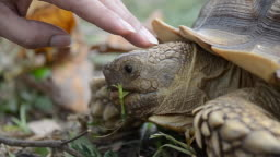 Close-up of owner hand touching african spurred tortoise 's head while eating.