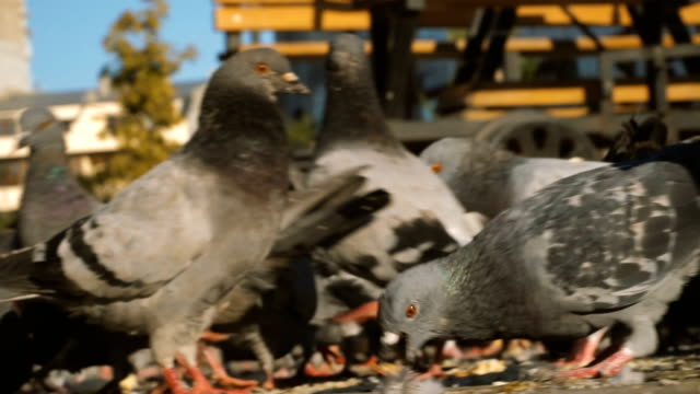 close-up of pigeons standing and fed - cartoon p stock videos & royalty-free footage