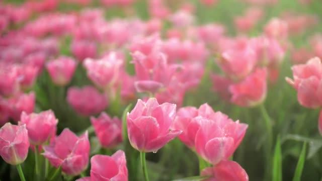 ピンクのチューリップと背景のドリー撮影とスローモーションのクローズ アップ - チューリップ点の映像素材/bロール