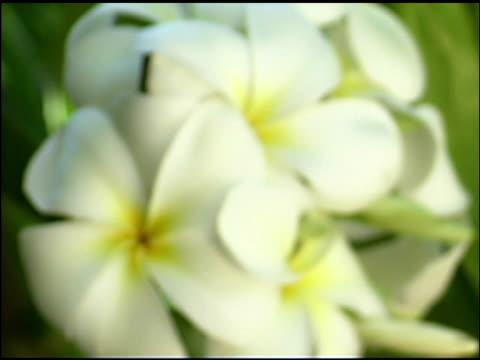 vídeos de stock, filmes e b-roll de close-up of plumeria flowers - sc47