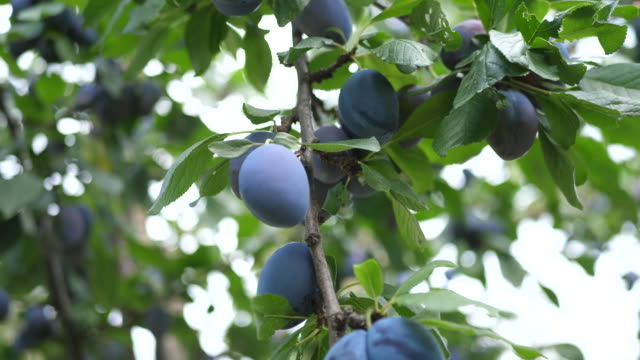 close-up of plums on a tree in a garden. - slow motion - plum stock videos & royalty-free footage