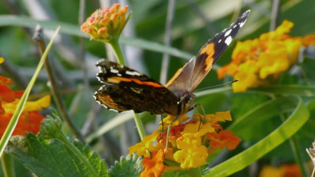 close-up of red admiral butterfly on lantana wildflower, texas hill country, stonewall, texas - wildflower stock videos and b-roll footage