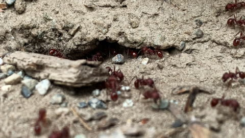 close-up of red ants going in and out of their dirt nest/colony underground outdoors - insect stock videos & royalty-free footage
