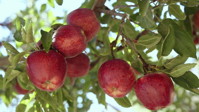 close-up of red apples on the tree  - apple orchard stock videos & royalty-free footage