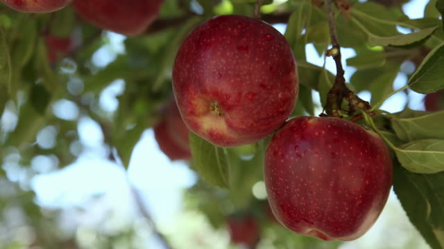 close-up of red apples on the tree  - obstbaum stock-videos und b-roll-filmmaterial