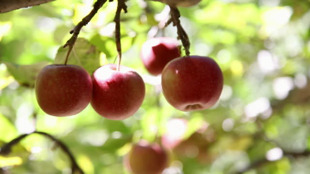 close-up of red apples on the tree  - apple tree stock videos & royalty-free footage