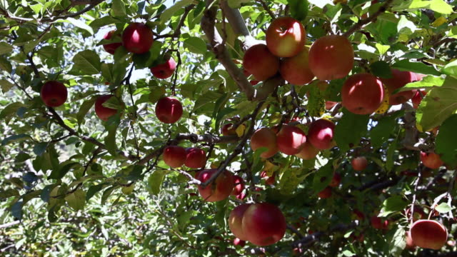 close-up of red apples on the tree  - リンゴ点の映像素材/bロール