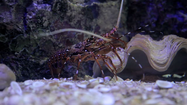closeup of red lobster shrimp walking under water - lobster stock videos & royalty-free footage
