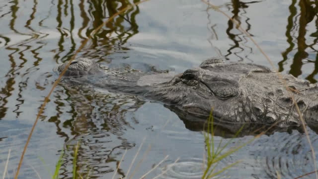 Close-up of resting Alligator in swamp, eye opens up, Aransas National Wildlife Refuge, Texas