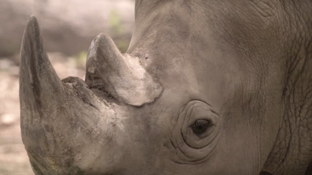 close-up of rhinoceros - wildlife stock videos & royalty-free footage