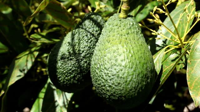 vídeos y material grabado en eventos de stock de close-up of ripening avacados de árbol - aguacate