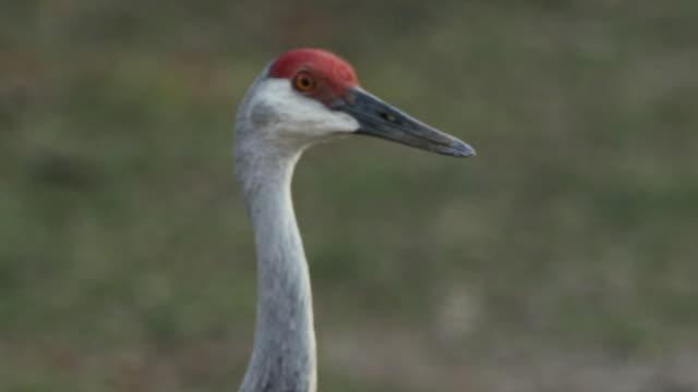 close-up of sandhill crane clearing showing beak, orange eyes and red crown. - sandhill crane stock videos & royalty-free footage