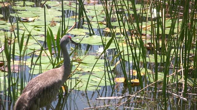 nahaufnahme von kanadischer kranich, waterliles, reeds in einem feuchtgebiet - water bird stock-videos und b-roll-filmmaterial