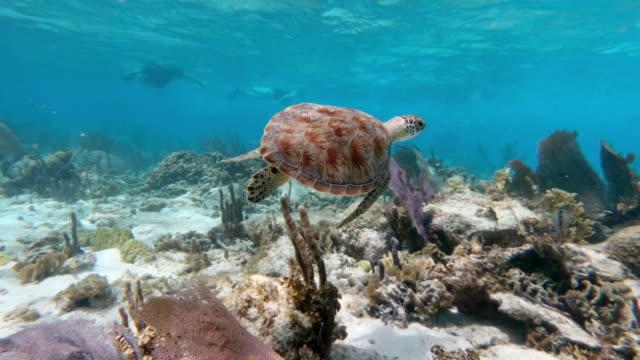vídeos de stock, filmes e b-roll de close-up of sea turtle swimming over ocean floor, sea life underwater - great blue hole, belize - fundo do mar