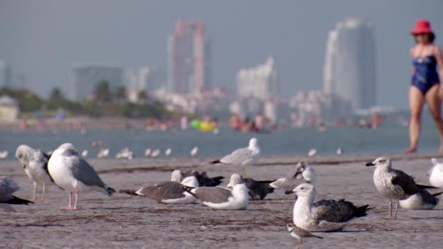 close-up of seagulls pruning their feathers on a miami beach, florida - seagull stock videos & royalty-free footage