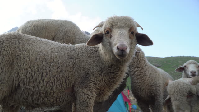 close-up of sheep's - sheep stock videos & royalty-free footage