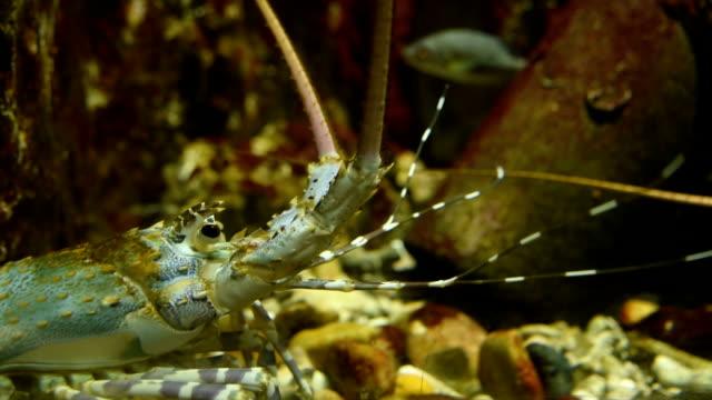 stockvideo's en b-roll-footage met close-up van garnalen in het aquarium - voelspriet