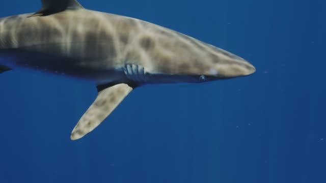 Closeup of Silky Shark