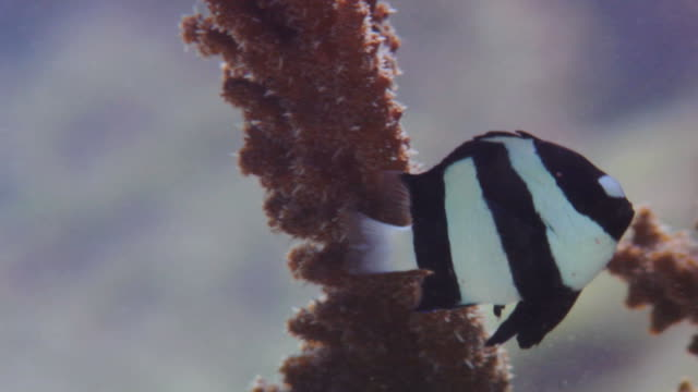closeup of small humbug dascyllus – a damselfish – swimming among branches of a coral