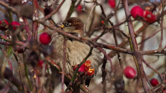 close-up of sparrow on rosehip twig - twig stock videos & royalty-free footage