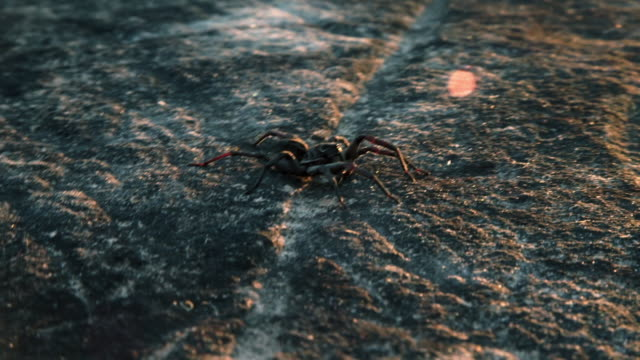 closeup of spider on flat surface before running away - animal abdomen stock videos and b-roll footage