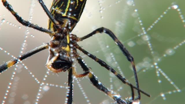 HD: Nahaufnahme von Spinne auf web (video