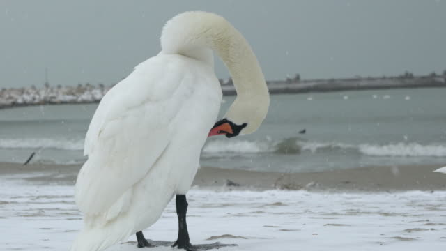 Close-up Of Swans And Other Birds On A Beach During A Cold Winter Day