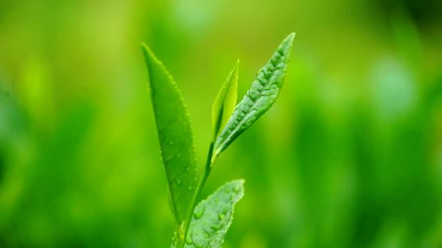 Close-up of tea leaves