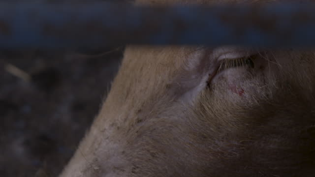 close-up of the blinking eye of a pig in a pen, uk. - pig stock videos & royalty-free footage