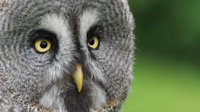 close-up of the head of a great gray owl, with its beak and beautiful yellow eyes. strix nebulosa. - great gray owl stock videos & royalty-free footage