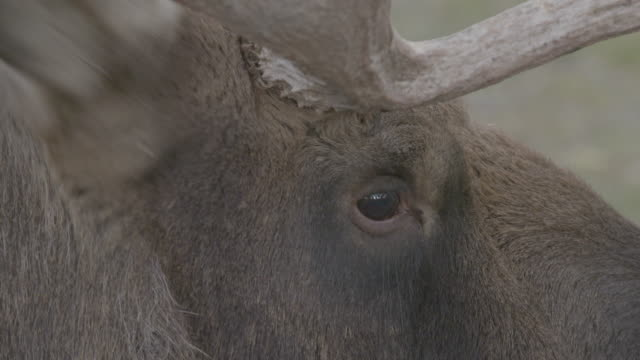 close-up of the head of a moose in the arctic national wildlife refuge - arctic national wildlife refuge stock videos & royalty-free footage