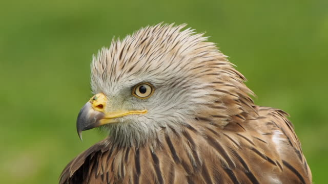 a close-up of the head of a red kite, which moves it from side to side looking around. milvus milvus - rotmilan stock-videos und b-roll-filmmaterial