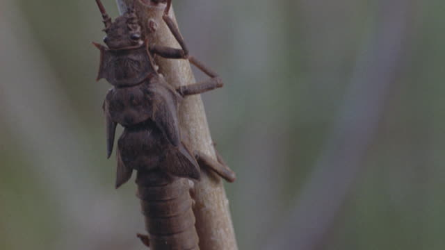 close-up of the pupae of of a dragonfly latched onto a tree branch. - 出現点の映像素材/bロール