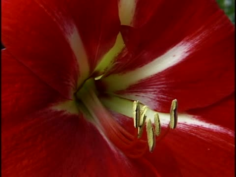 close-up of the stamen of a flower - stamen stock videos & royalty-free footage
