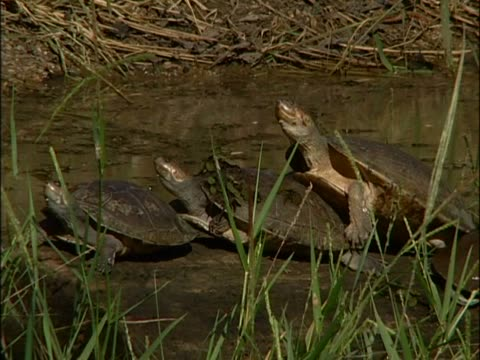 Close-up of three turtles in a river