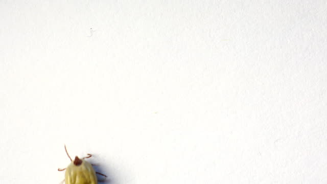 closeup of tick on the white background - overweight dog stock videos & royalty-free footage