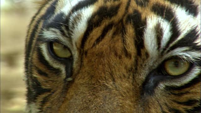 closeup of tiger eyes - animal leg stock videos & royalty-free footage